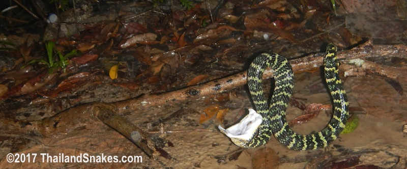 Wagler's Pit Viper (T. wagleri) found while herping in rain.