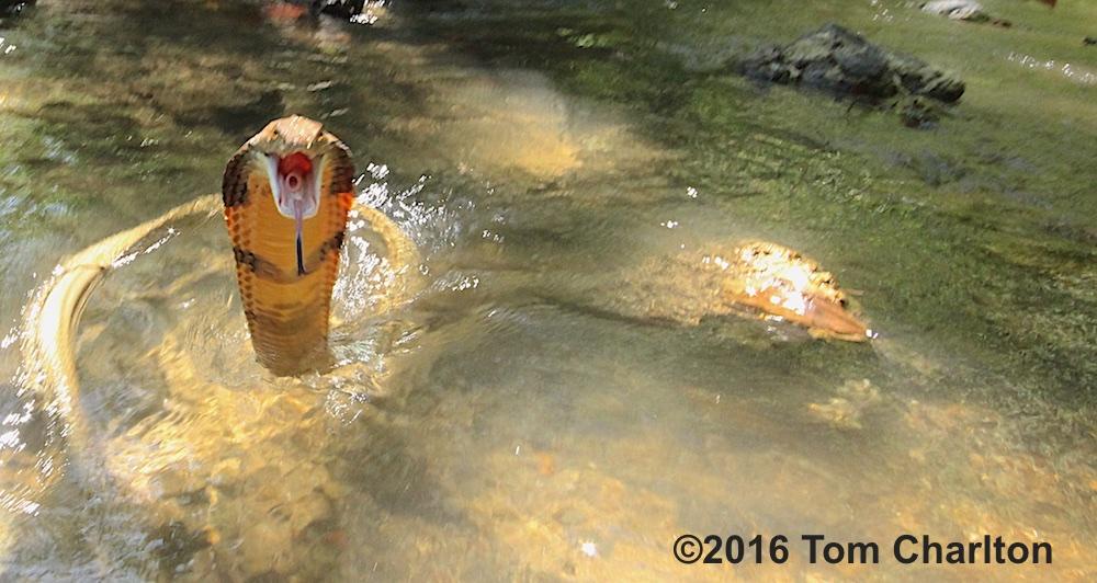 King cobra strike from freshwater stream in Southern Thailand - Krabi.