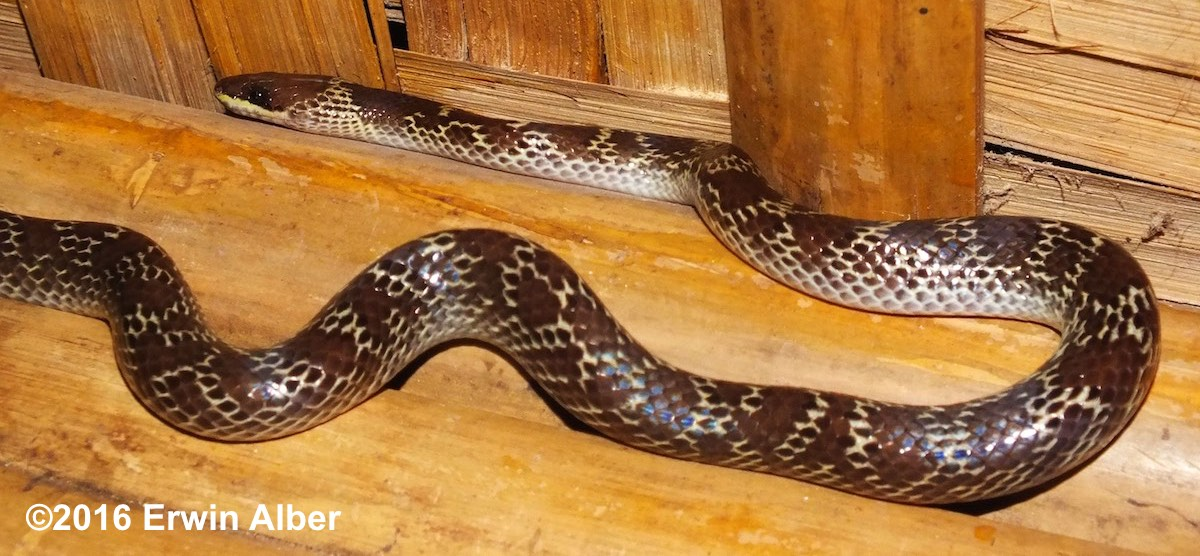 Common Wolf Snake (Indian Wolf Snake) - Lycodon capucinus. Very common harmless snake with a range across Southeast Asia including Vietnam, Burma, Cambodia, Philippines, Malaysia.