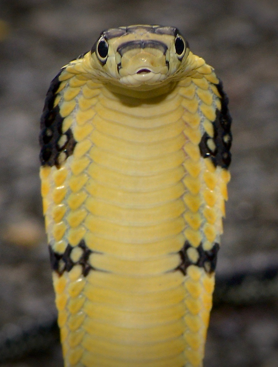 Hooded king cobra juvenile snake found in southern Thailand in July 2017.
