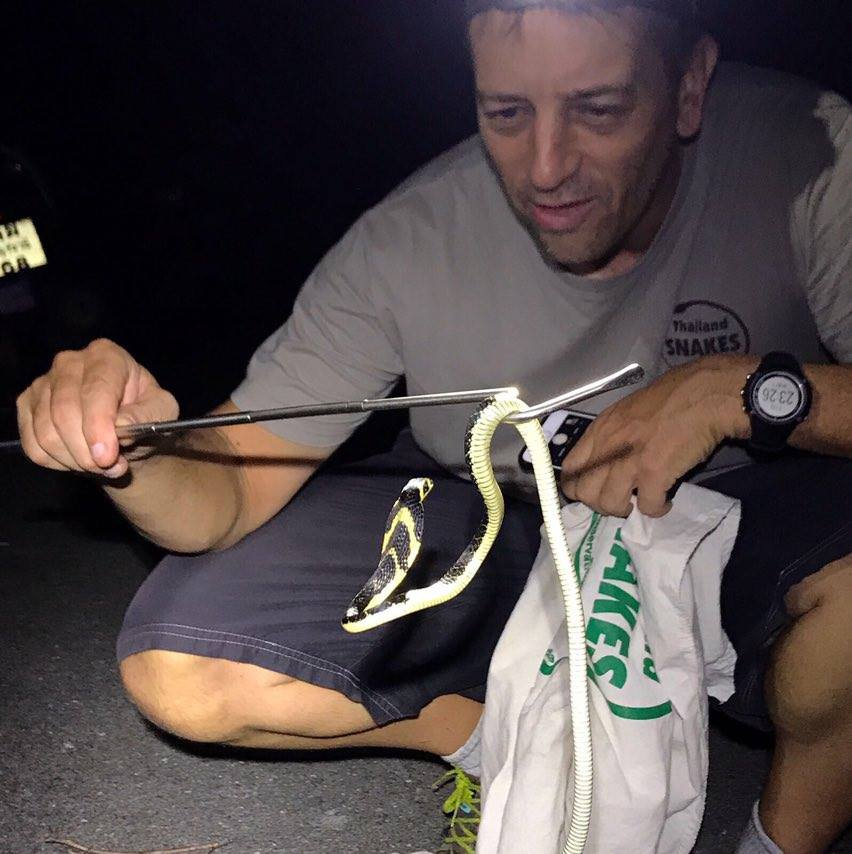 King Cobra juvenile found herping Krabi, Thailand.