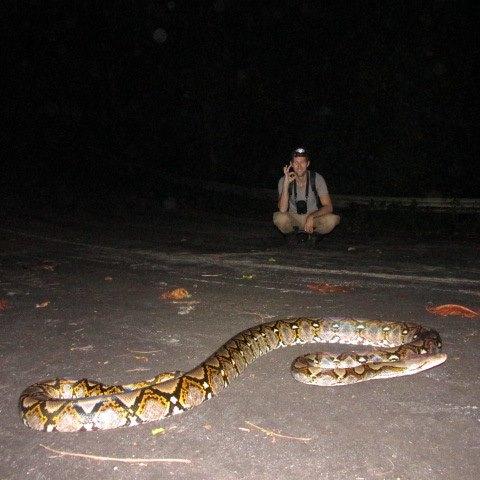 Big reticulated python found in Krabi, Thailand.