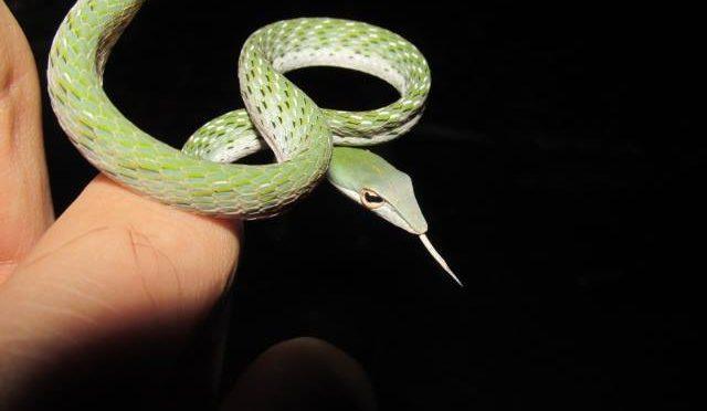 Ahaetulla prasina, the Oriental Whip Snake.