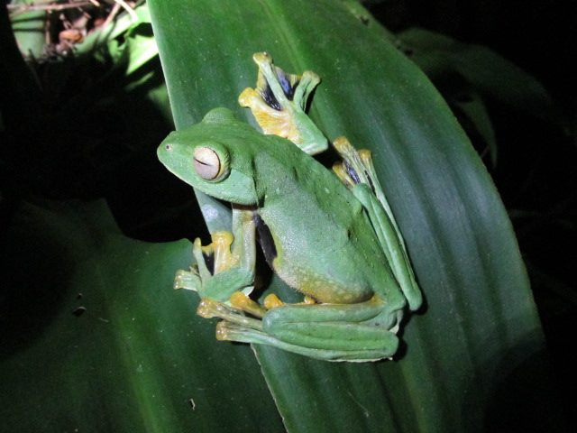 Thailand gliding frog species in Phang Nga.