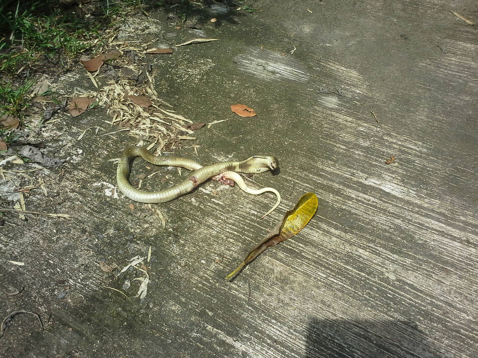 Dead monocled cobra after Thai hit it with shovel.