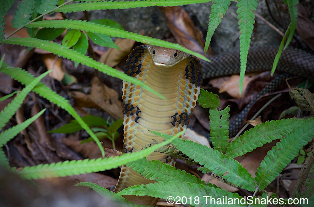 King cobra in Thailand ferns.