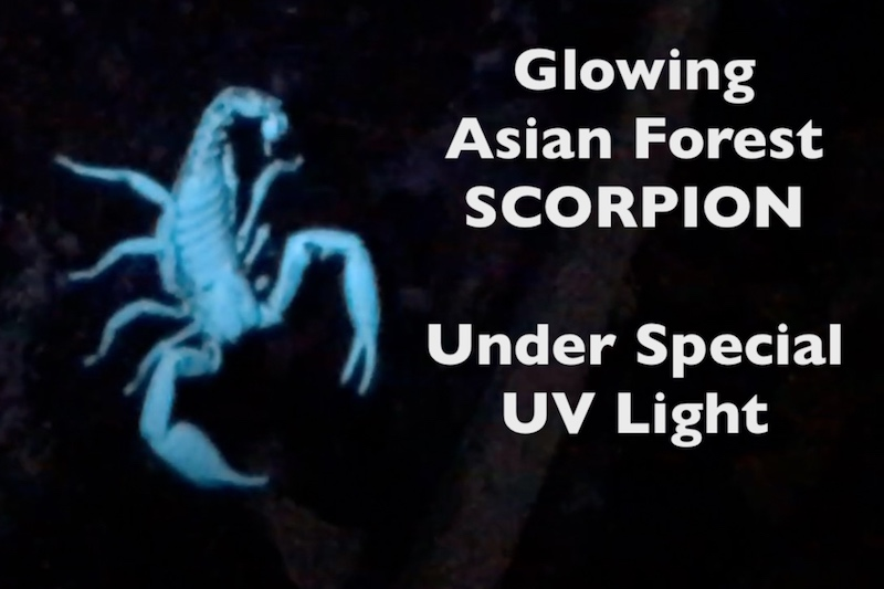 Scorpion under UV light for Scorpion bite page on Thailand Snakes site.