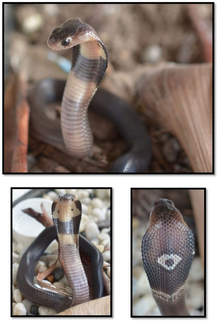 Thailand monocled cobra (Naja kaouthia) identification and crucial information.