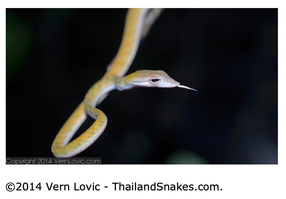 Photos of Common Thailand Snakes | 1 | ThailandSnakes