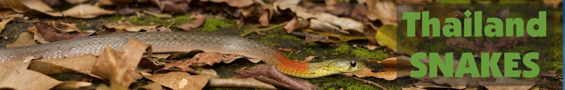 Thailand Snakes | Venomous | Photos | Videos | ID