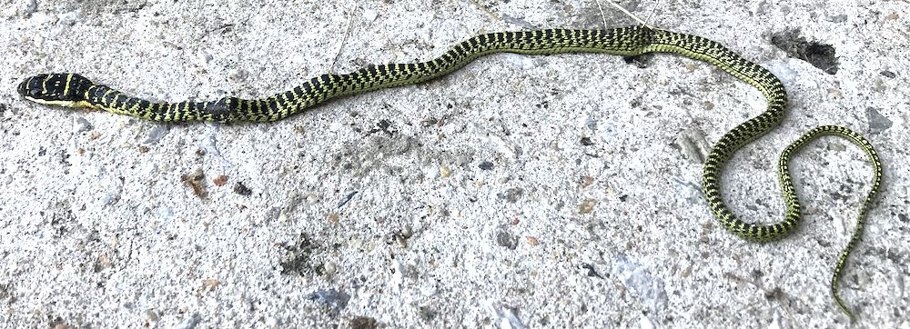 Golden tree snake killed at a home in Southern Thailand.