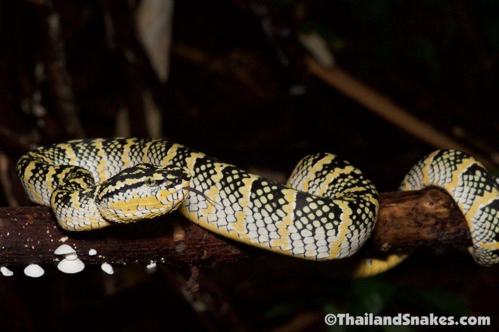 Wagler's Pit Viper, a tree viper, on Phuket Island, Thailand.
