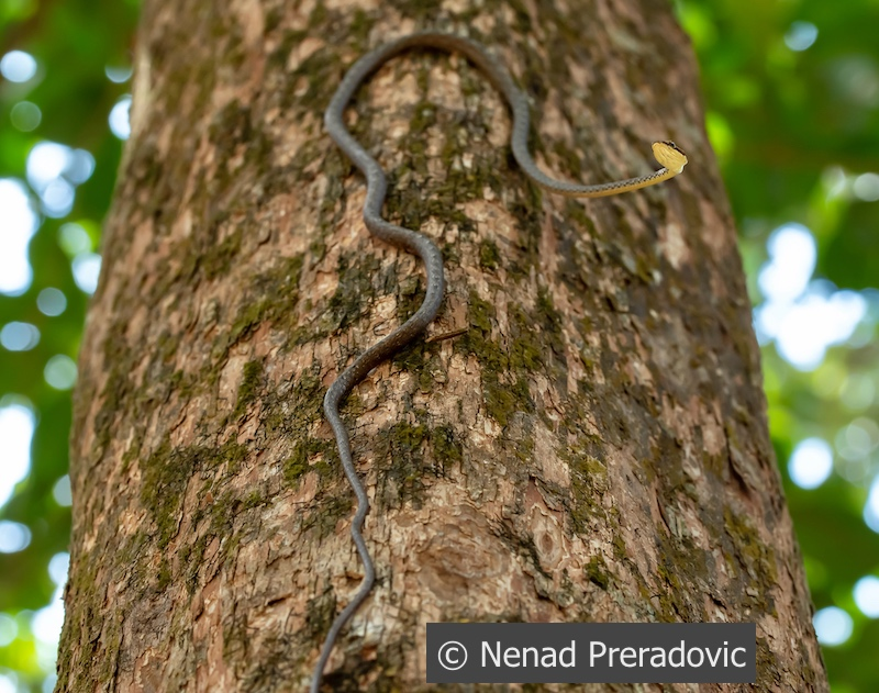 Keel-bellied whip snake, Dryophiops rubescens. Thailand.